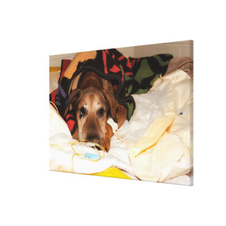 senior dog in the intensive care unit with a canvas print