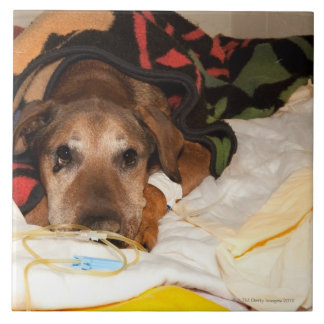 senior dog in the intensive care unit with a ceramic tile