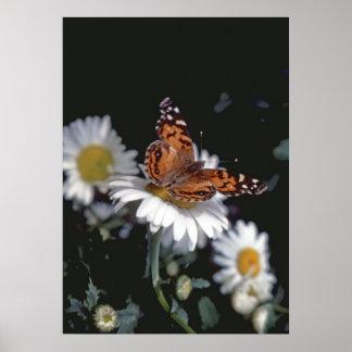 Señora pintada americano Butterfly On Daisy Poster