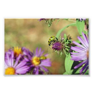 Señora verde Bug en la impresión púrpura del brote Impresiones Fotograficas