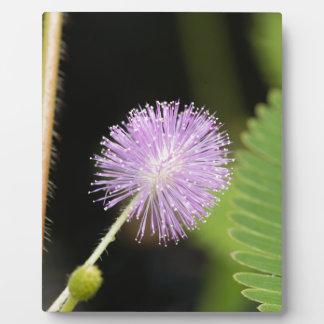 Sensitive plant (Mimosa pudica) Plaque