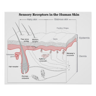 Sensory Receptors in the Human Skin Diagram Poster