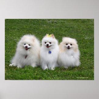 Sentada de 3 Pomeranians Póster