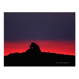 Sentada de la leona (Panthera leo), en la puesta Tarjetas Postales