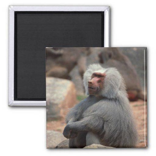 Sentada del babuino imán cuadrado
