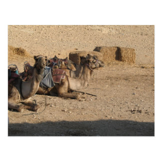 Sentada del camello postales
