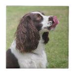Sentada del perro de aguas de saltador inglés azulejos