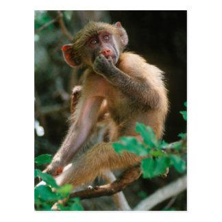 Sentada joven del babuino de Chacma (Papio Postal