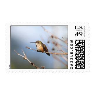 Sentada rufa del colibrí