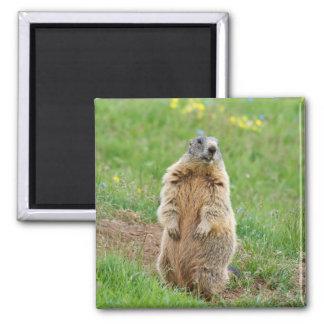 Sentinel marmot magnet