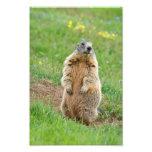 Sentinel marmot photograph