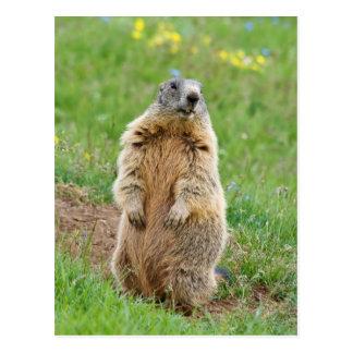 Sentinel marmot postcard