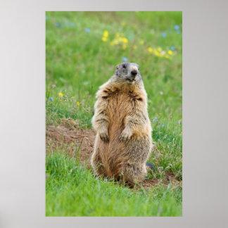 Sentinel marmot poster