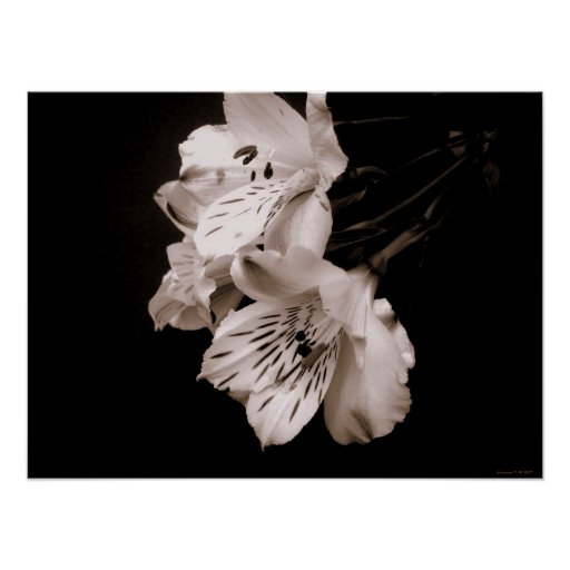 Sepia Alstroemeria Lily Poster