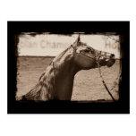 Sepia Arabian Stallion Postcard