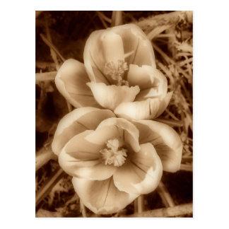Sepia crocuses postcard