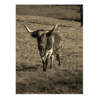 Sepia Tone Brown and White Longhorn Bull Postcard