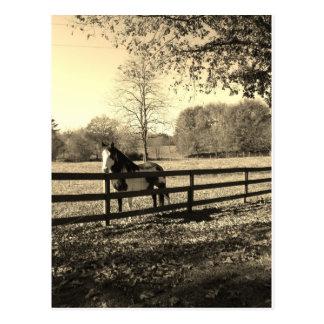 Sepia Tone  Photo of  black and white Horse Postcard
