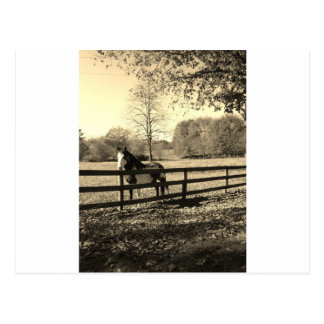 Sepia Tone Photo of black and white Horse Post Card