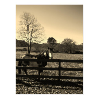 Sepia Tone  Photo of  brown  and white Horse Postcard