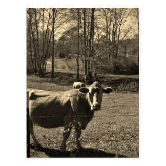 Sepia Tone  Photo of  Brown Cow Postcard