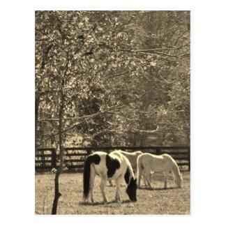Sepia Tone  Photo of Horse Postcard