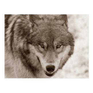 Sepia Wolf Postcard