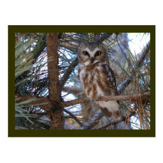 Septentrional Sierra-Amole el búho en árbol de pin Tarjeta Postal