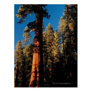 Sequoia National Park , California 2 Postcard