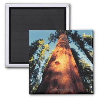 Sequoia National Park , California 3 2 Inch Square Magnet