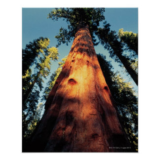 Sequoia National Park , California 3 Poster