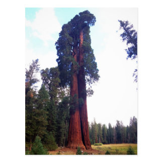 Sequoia Postcard