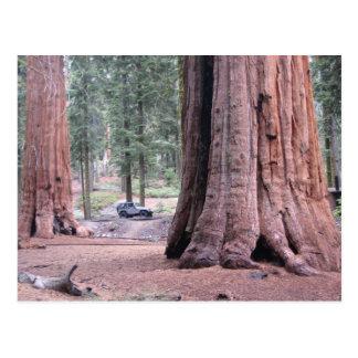 Sequoia  Tree King Postcard