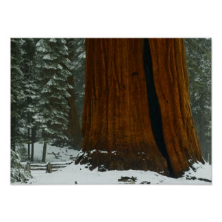 Sequoia Tree Poster