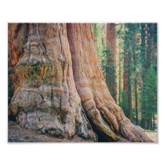 Sequoia Tree Trunk | Poster
