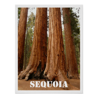 Sequoia Trees, Sequoia National Park, California Poster