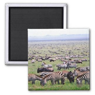 Serengetti aclara por completo de manadas de cebra imán cuadrado