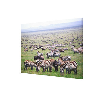 Serengetti Plains full of herds of Zebras and Canvas Print