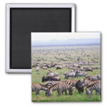 Serengetti Plains full of herds of Zebras and 2 Inch Square Magnet