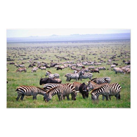 Serengetti Plains full of herds of Zebras and Photo Print