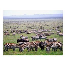 Serengetti Plains full of herds of Zebras and Postcard