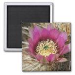 Serie 1 de la flor del cactus de la primavera imanes