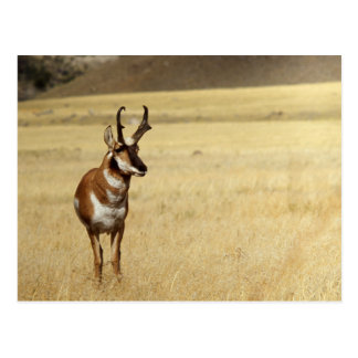 Serie de la fauna del antílope de Pronghorn # Tarjetas Postales