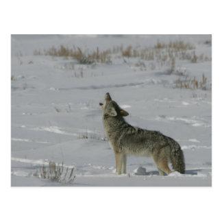 Serie de la fauna del coyote # postal 6