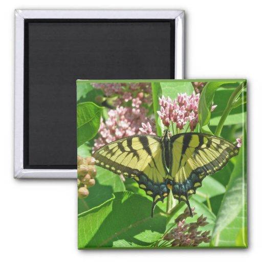 Serie del este femenina de la mariposa de Swallowt Imán Cuadrado