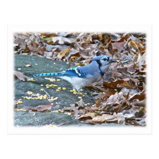 Serie del pájaro cantante del arrendajo azul postales