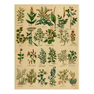 Serie herbaria de la postal del vintage - 1