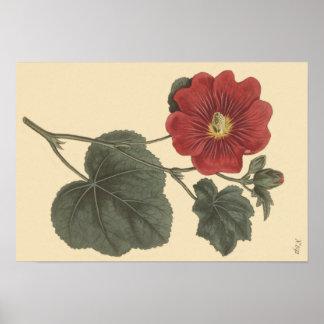 Seringapatam Hollyhock Botanical Illustration Poster