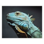 Serious Iguana Portrait Photo