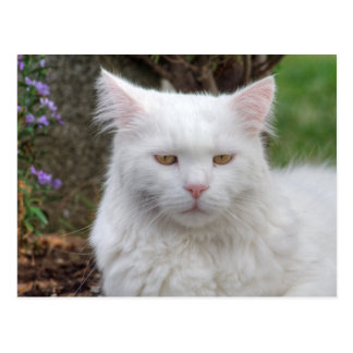 Serious White Cat Post Cards